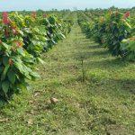 Cacao ontwikkeling Ecuador