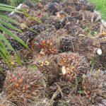 Palmvruchten oogst