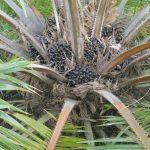 vruchten palmen